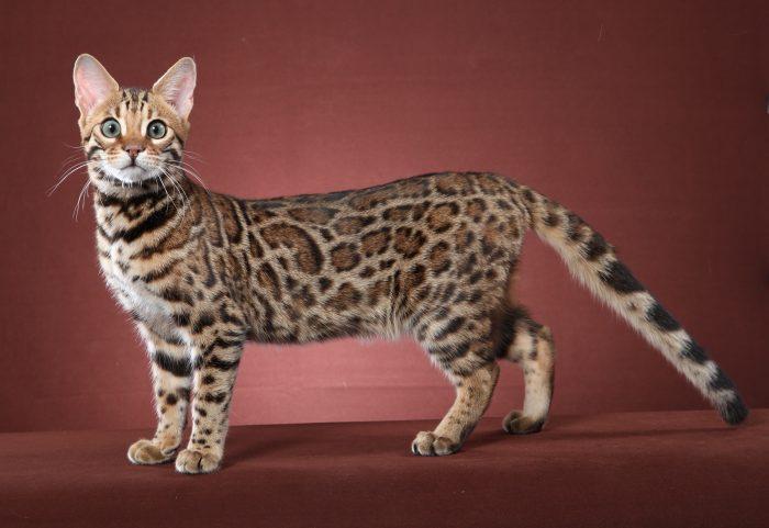 Най-скъпите котки в Света